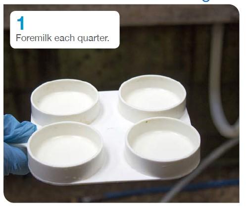 1. Foremilk each quarter..