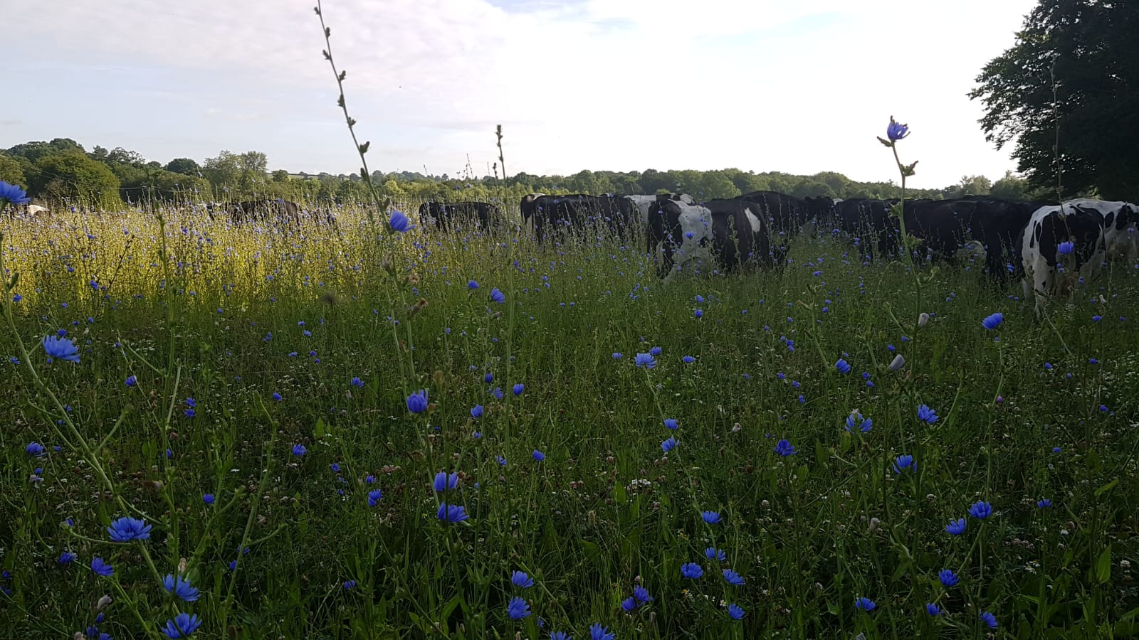 a field of flowers with cows in the background