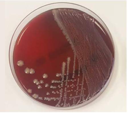 Klebsiella in laboratory culture. Image courtesy and copyright of James Breen BVSc PhD DCHP MRCVS.