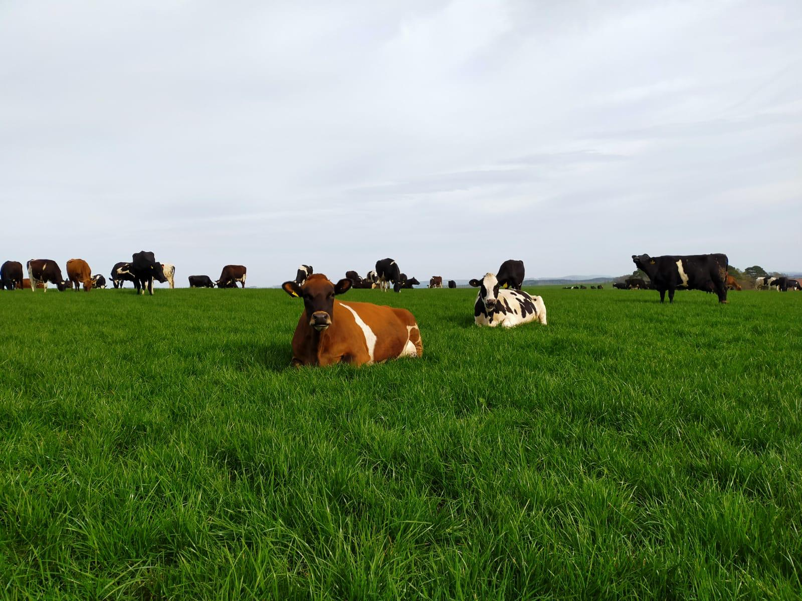 cows laying in a field