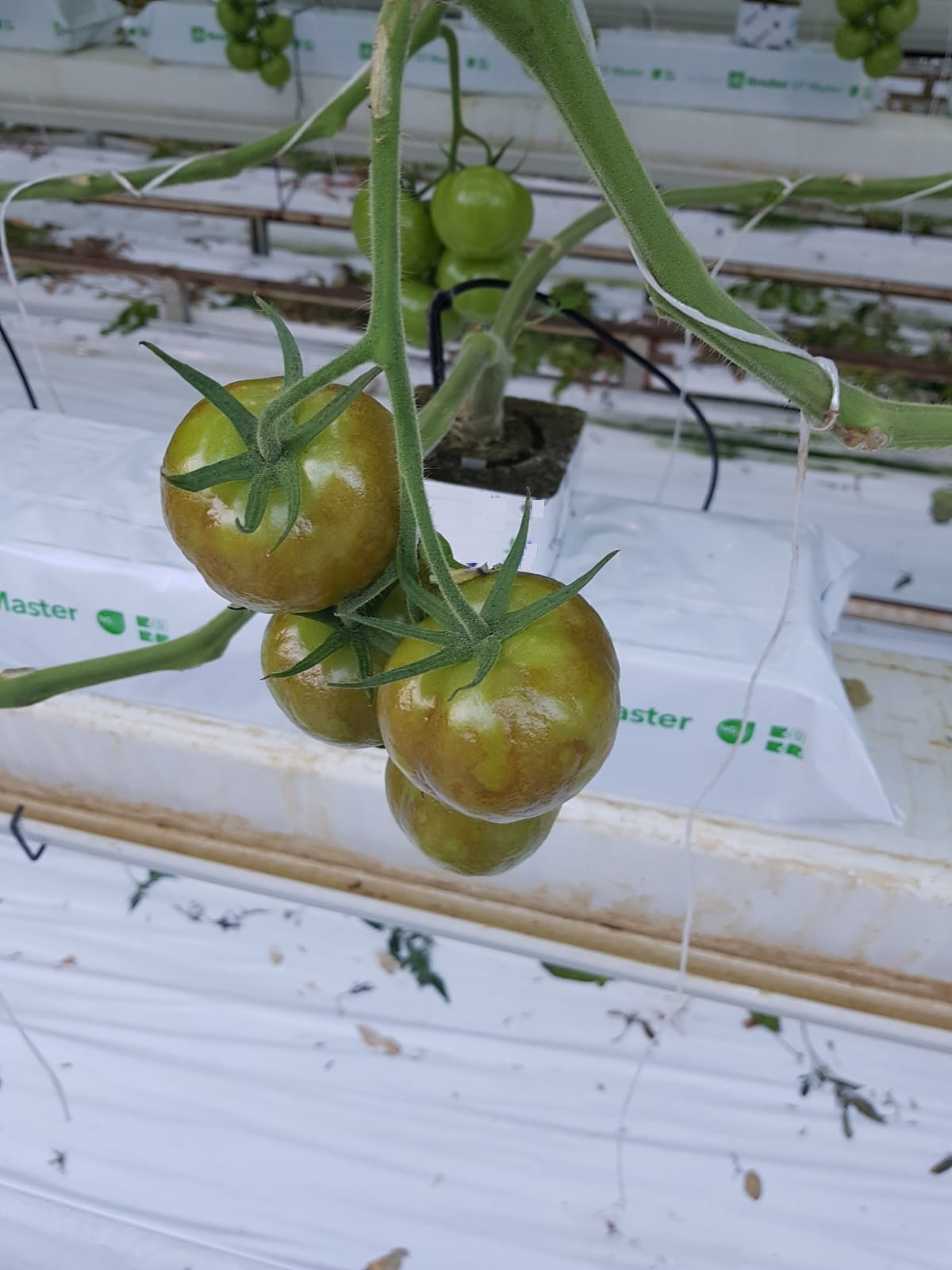 Further developed brown wrinkled patches on developing green fruit