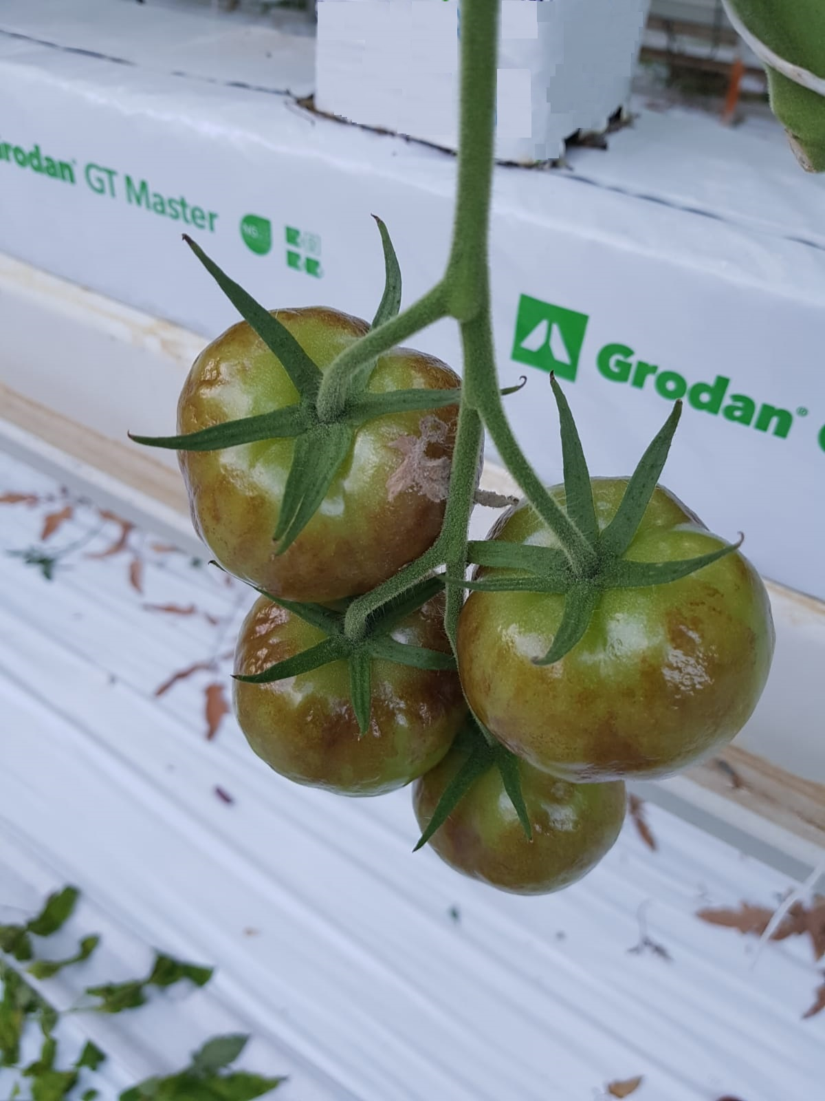 Tissue becoming necrotic. More severe symptoms of rugose patches on green fruit