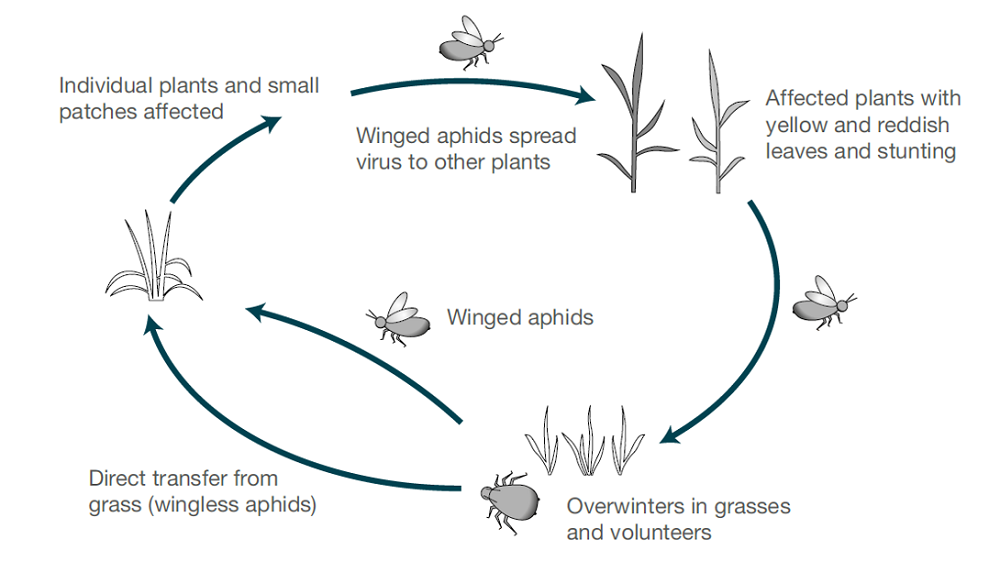 BYDV (aphid) life cycle (cereal disease)