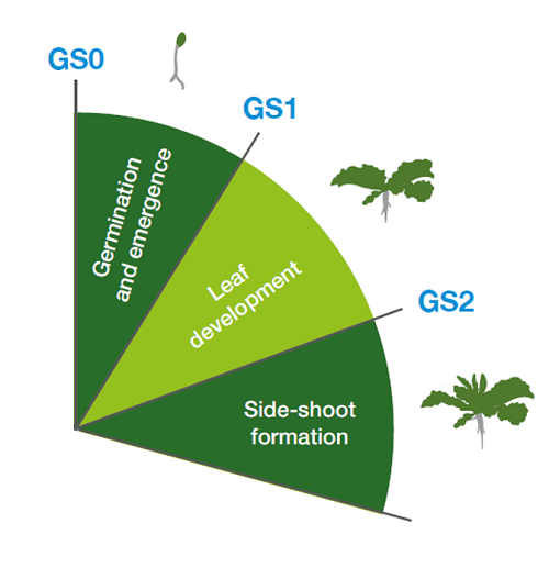 Early growth stages of oilseed rape (GS0–GS2)