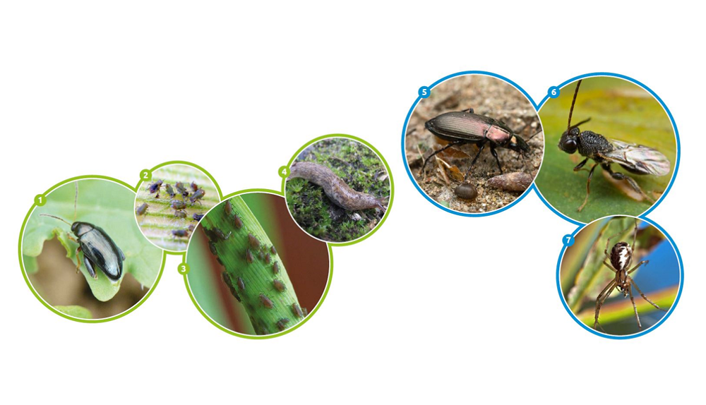 Examples of crop pests (green circles) and natural enemies (blue circles)