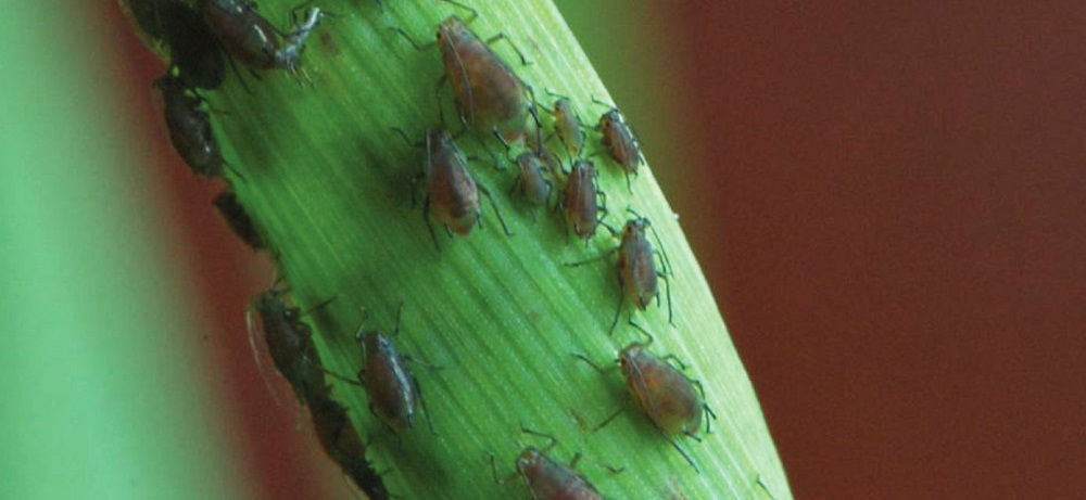 Grain aphids on a cereal crop