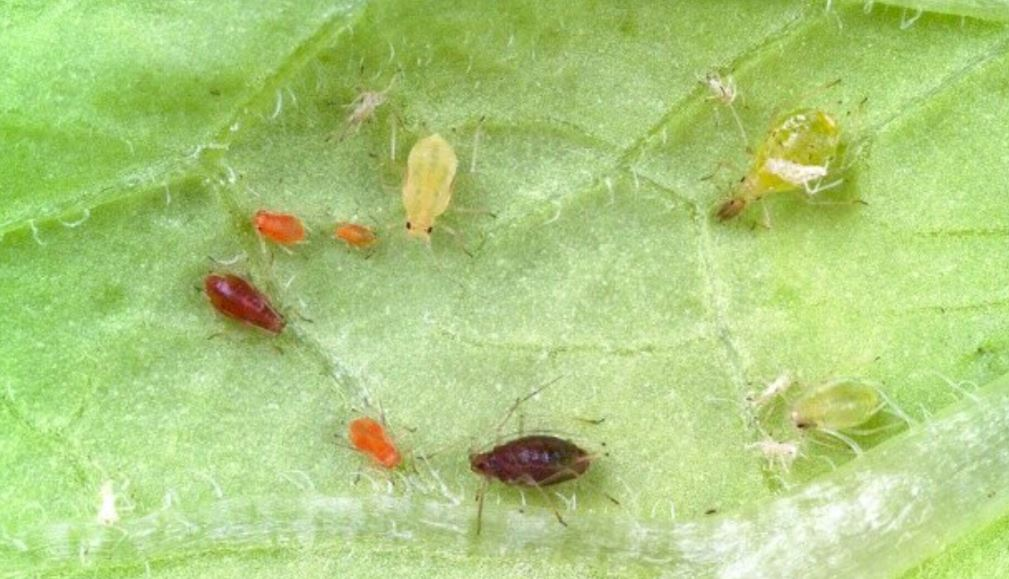 Various colours of peach-potato aphid (c) Dewar Crop Protection Ltd