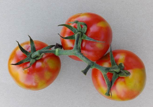 Tomato Brown Rugose Fruit Virus | AHDB