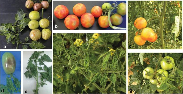 Virus des tomates Figures