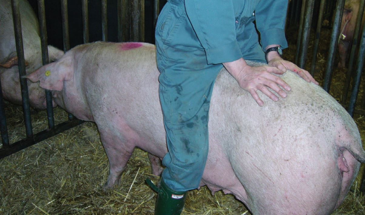 Back pressure test demonstrating standing reflex of in-heat sow