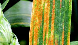 Early release of wheat rust resistance ratings