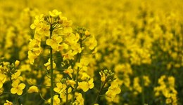 OSR sclerotinia infection risk tool delivers a high level of accuracy