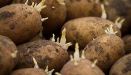 Potato businesses at risk due to CIPC use-up date