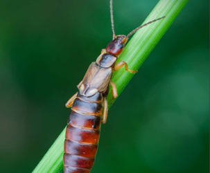 Earwig-friendly spray programmes in apple and pear crops