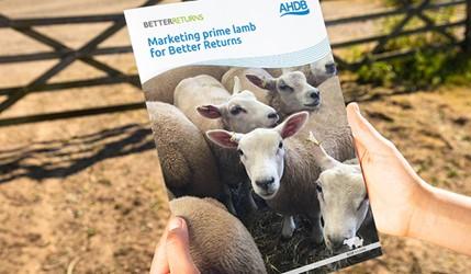 Marketing prime lamb for Better Returns