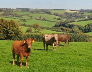 Interpreting beef carcase traits