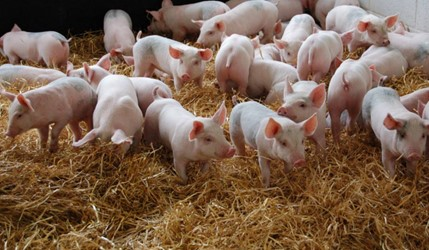 Effect of electrostatic particle ionisation (EPI) on pig unit air quality, pig performance and health (December 2017 update)