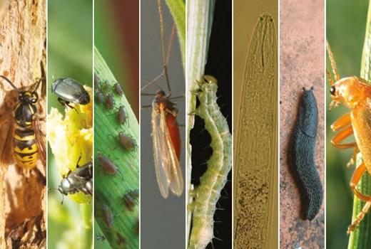 Encyclopaedia of pests and natural enemies   AHDB