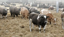 Feeding growing and finishing cattle for Better Returns