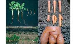 Free-living nematodes associated with carrots and parsnips