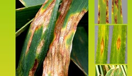 Fungicide resistance management in cereals