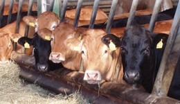 Managing replacement heifers for Better Returns