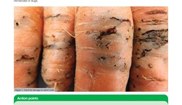 Pest insects infesting carrot and other Apiaceous crops