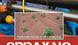 Using glyphosate safely around seed potatoes