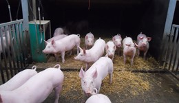 Mitigating feed price volatility - Reducing the slaughter weight of pigs