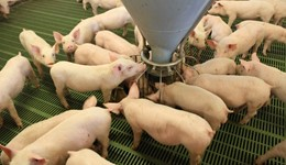 Two more pigs per sow on Strategic Farm