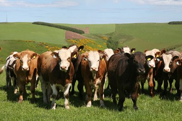 Cattle Market Outlook