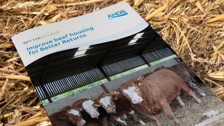 Improve Beef Housing for Better Returns