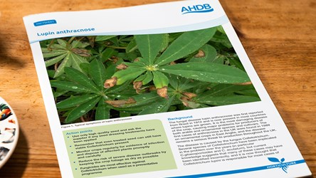 How to manage the fungal disease lupin anthracnose