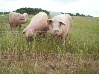 Pig meat market update
