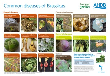 Common diseases of Brassicas