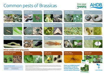 Common pests of Brassicas