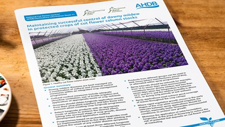 Maintaining successful control of downy mildew in protected crops of cut flower column stocks