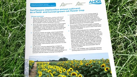 Sunflowers (Helianthus annuus cultivars) as a field- and tunnel-grown cut flower crop