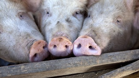 Possible effects of a no-deal Brexit on cull sow prices and finished pig production costs