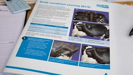 Body condition scoring flow chart