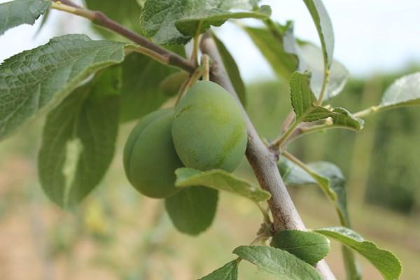 Plums at Fruit Focus