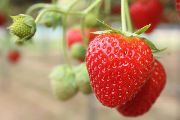 Strawberries growing in the WET Centre